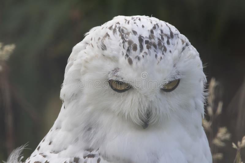 Nevado Owl Portrait foto de archivo