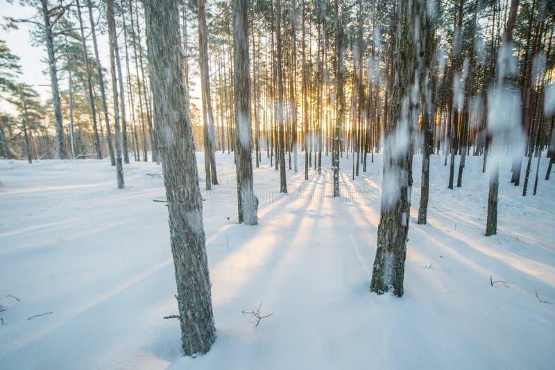 Nevando en bosque, luz hermosa fotografía de archivo libre de regalías
