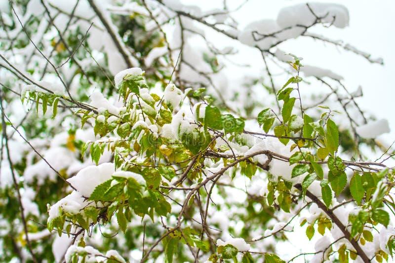 """Neve branca queda de neve verde do †dos ramos e das folhas de árvore na """", outubro-novembro outono, Moscou, Rússia, Europa foto de stock"""