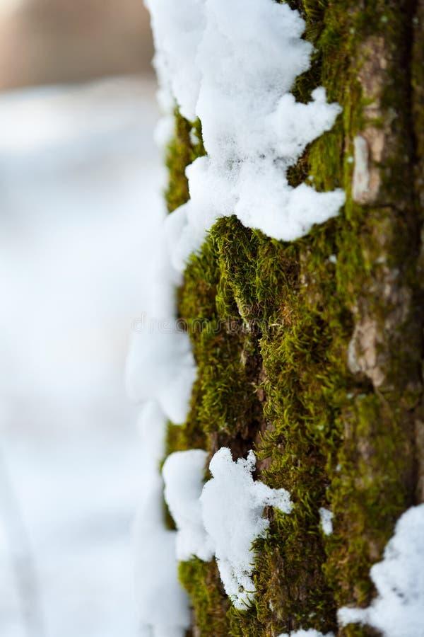 Neve che si fonde sulla corteccia e sul muschio di albero fotografia stock libera da diritti