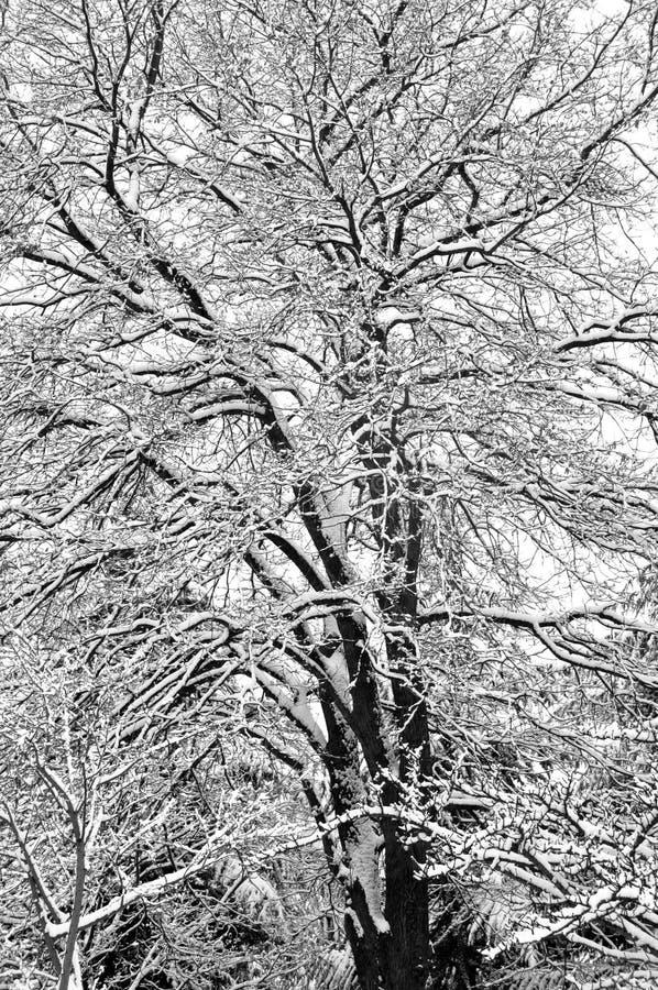 A neve cobriu a árvore de carvalho fotografia de stock royalty free