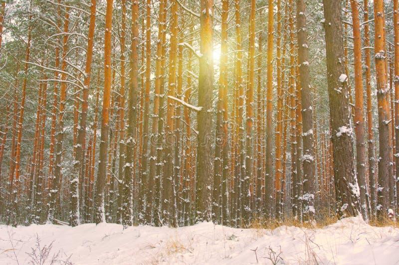 A neve cobriu árvores da floresta do inverno imagem de stock royalty free