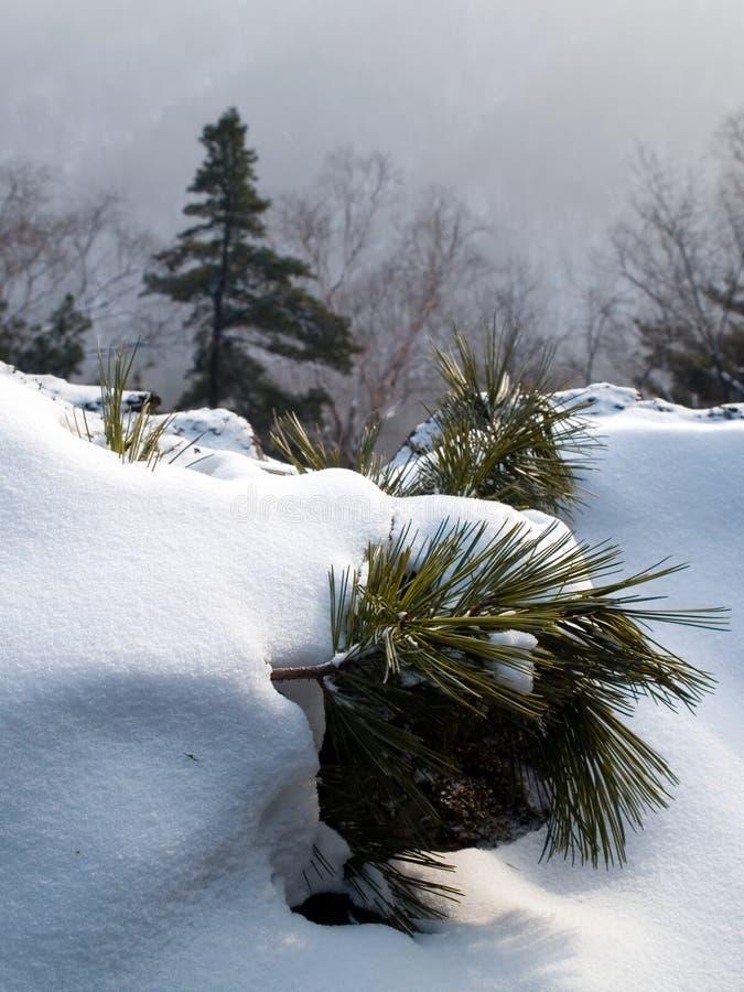 A neve cobriu a filial do pinho imagem de stock royalty free