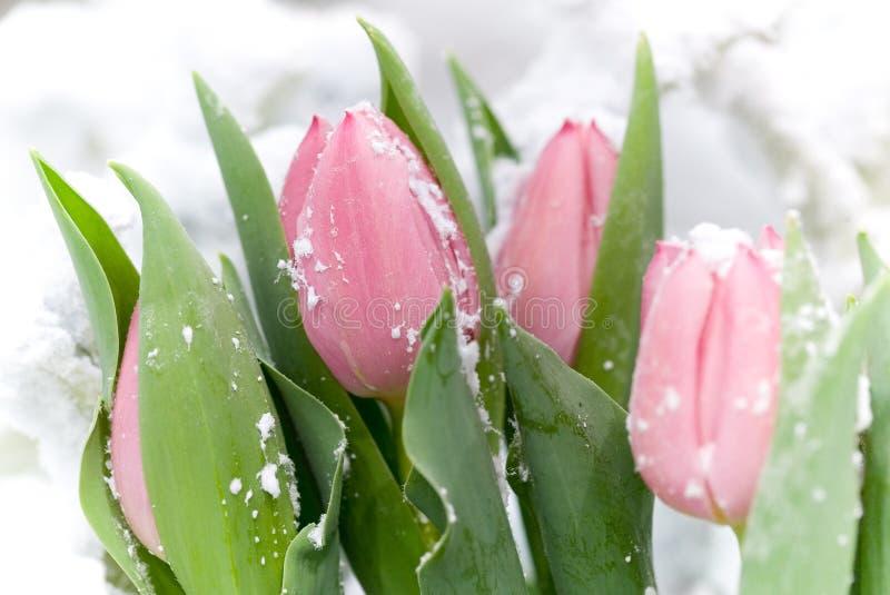 A neve cobriu tulips cor-de-rosa imagens de stock
