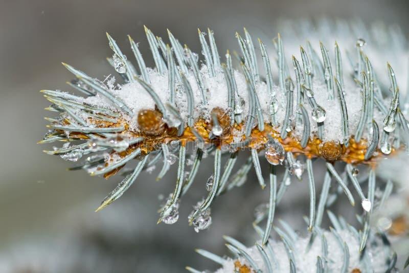 Neve congelada coberta de agulhas verdes e gotículas de água fechadas fotos de stock royalty free