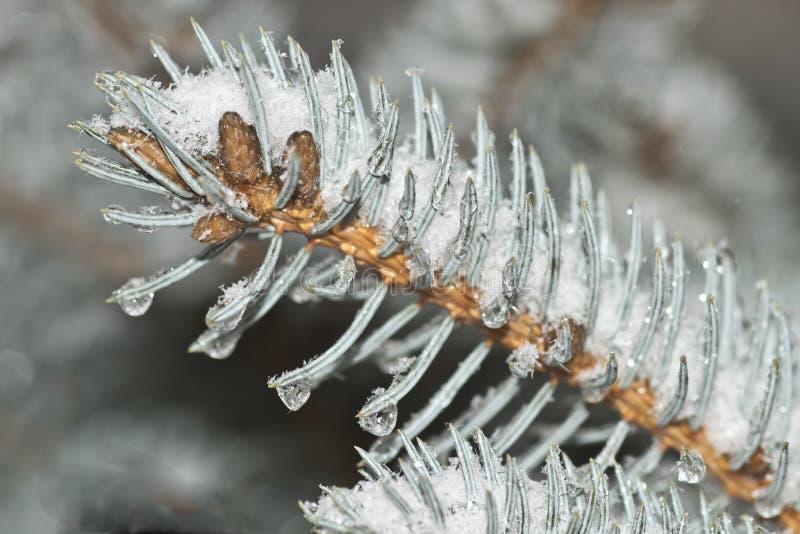 Neve congelada coberta por agulhas eververdes num ângulo foto de stock