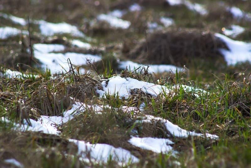 Neve de derretimento no fim da grama verde acima entre a mola do inverno imagem de stock