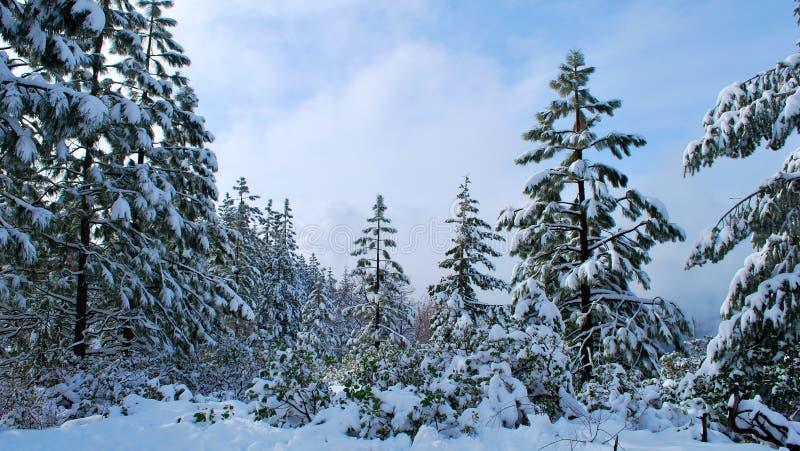 A neve de Tahoe cobriu pinhos fotografia de stock