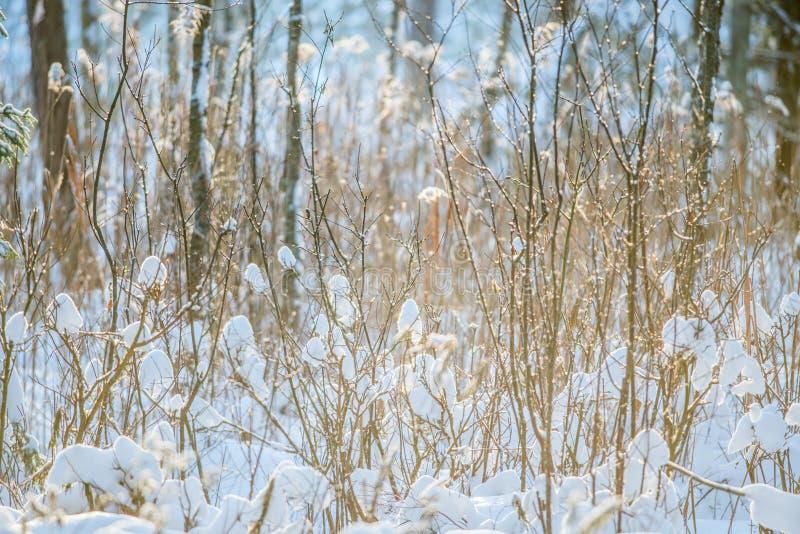 Neve del primo piano di inverno sul cespuglio minuscolo dei rami fotografia stock libera da diritti