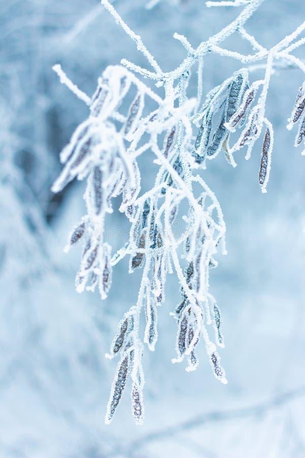 Neve di brina sul ramo di albero dell'acacia nell'inverno immagini stock libere da diritti