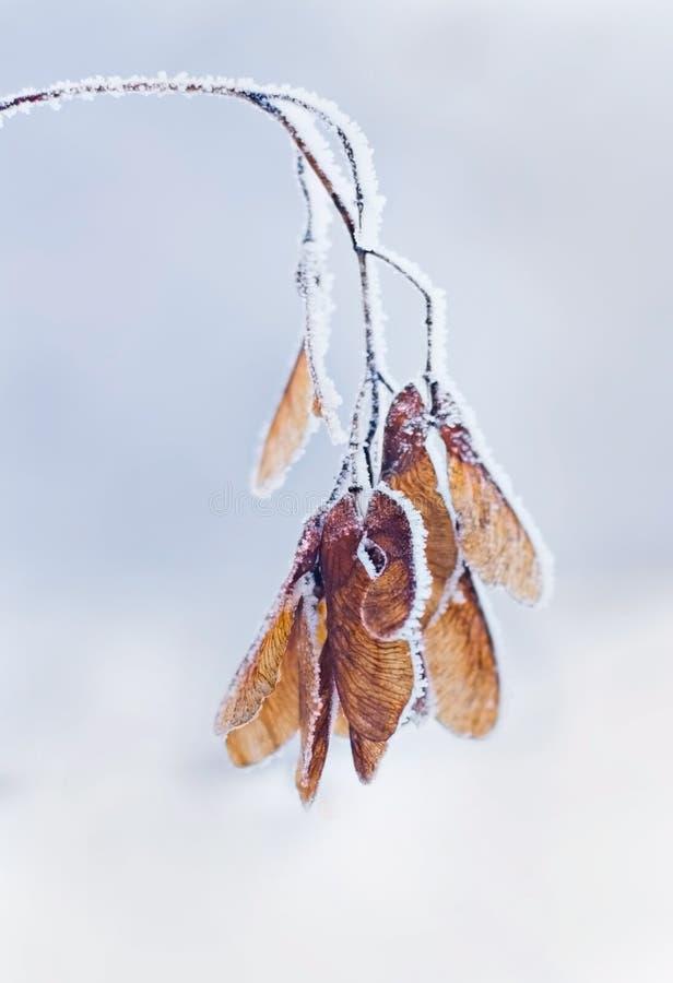 Neve di brina sul ramo di albero dell'acero nell'inverno immagine stock