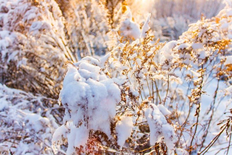 Neve di fusione sul primo piano secco dei ramoscelli Concetto di stagione Inizio della primavera fotografia stock libera da diritti