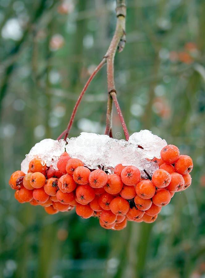 Neve di fusione sulle bacche della cenere di montagna. fotografia stock libera da diritti