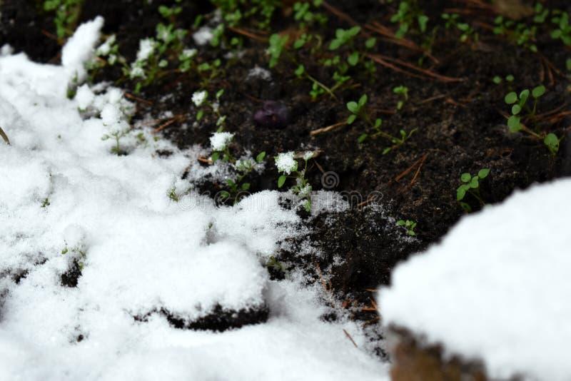Neve di inverno che incontra piccole erba verde e piante immagine stock