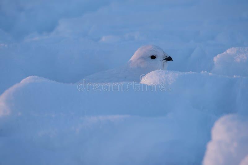 Neve di Willow Ptarmigan Hiding In Deep fotografie stock