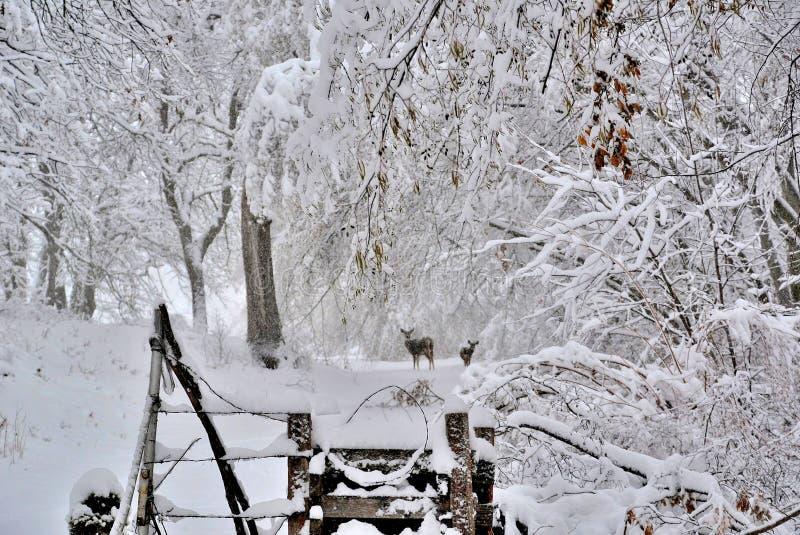 Neve do inverno com cervos em uma estrada secundária fotografia de stock