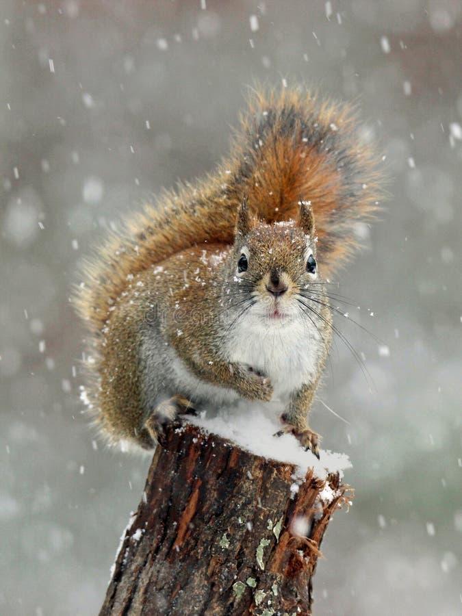 Neve do inverno do esquilo vermelho fotografia de stock