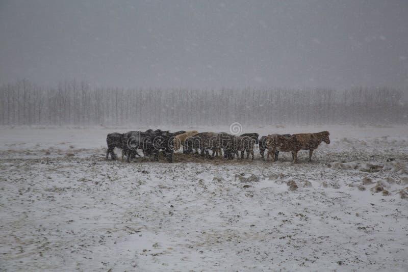 Neve dos cavalos imagens de stock