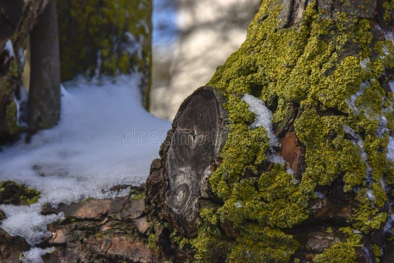 Download Neve E Grama Pequena Na árvore Imagem de Stock - Imagem de nave, coniferous: 65577767