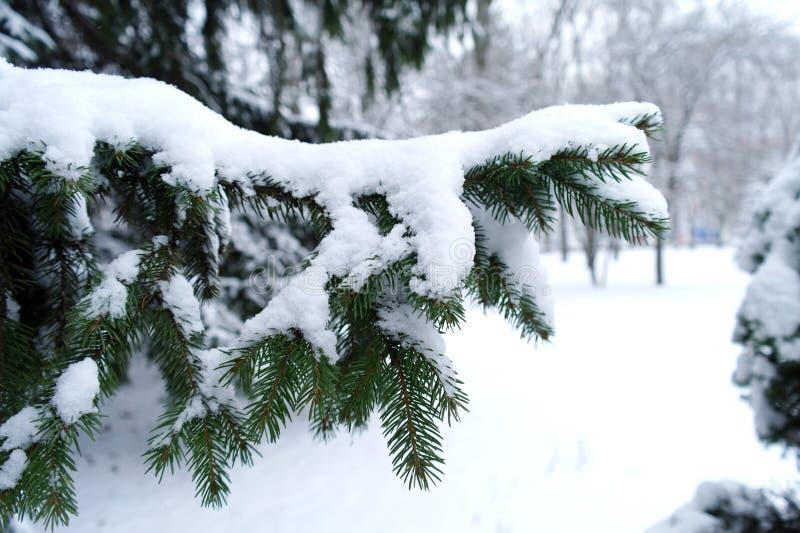 Neve em agulhas do pinho fotografia de stock royalty free