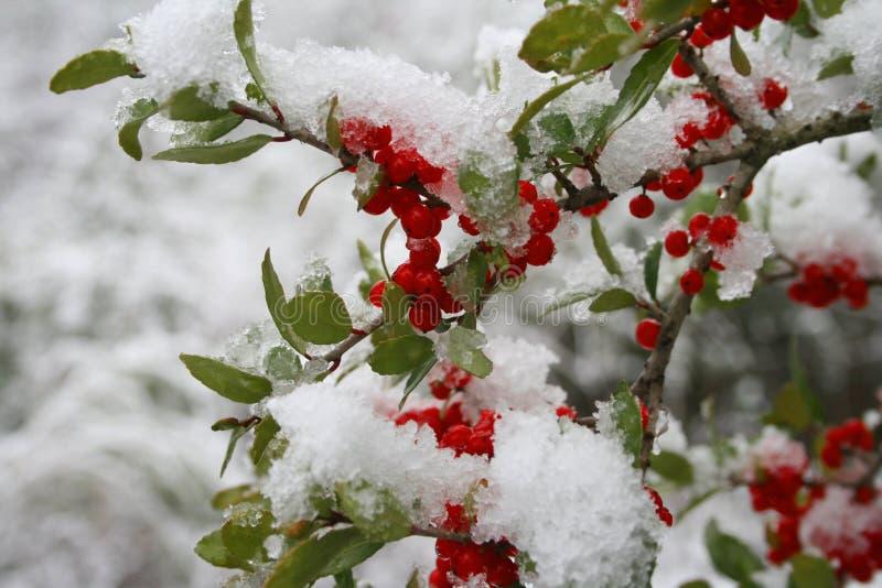 Neve em bagas do azevinho foto de stock
