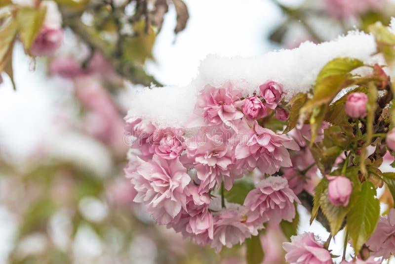 Neve em flores da árvore de sakura imagens de stock