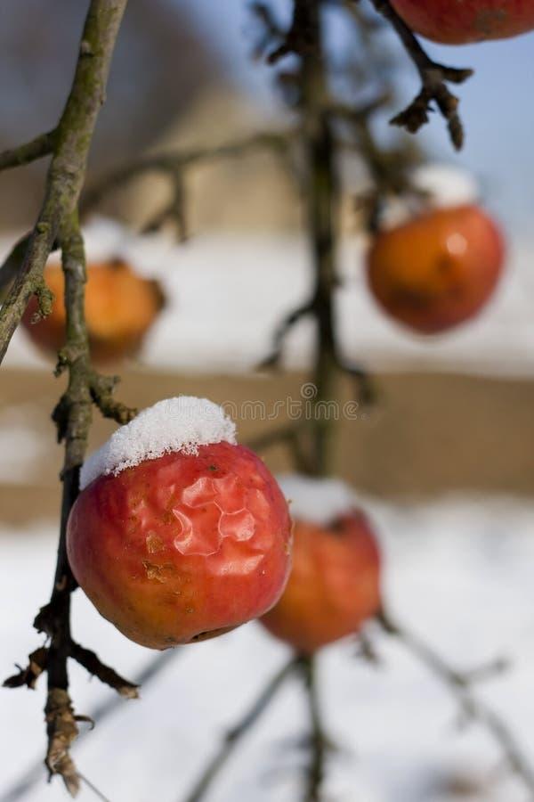 Neve em maçãs foto de stock royalty free