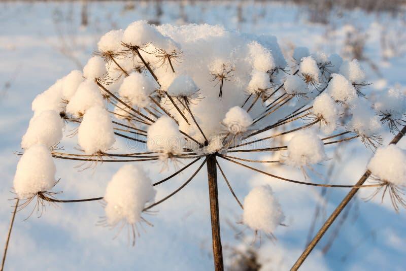 Neve em uma planta de guarda-chuva fotografia de stock