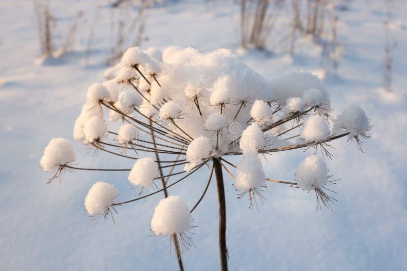 Neve em uma planta seca foto de stock