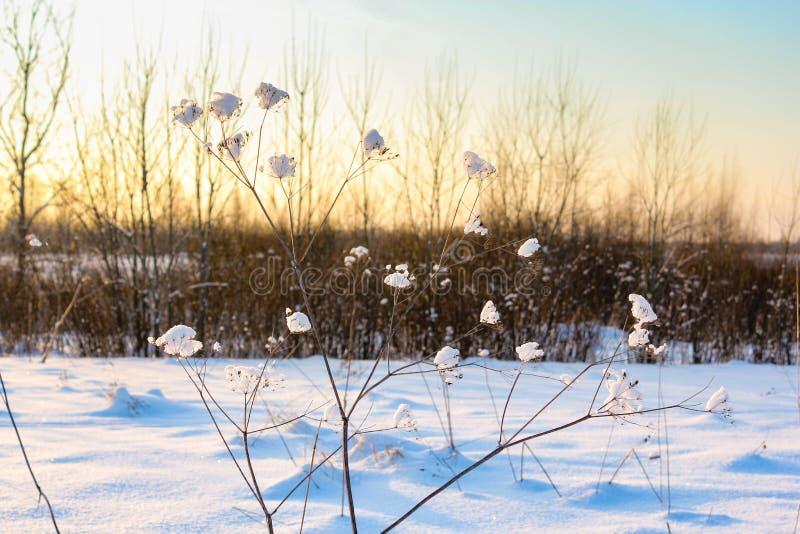 Neve em uma planta seca fotos de stock royalty free