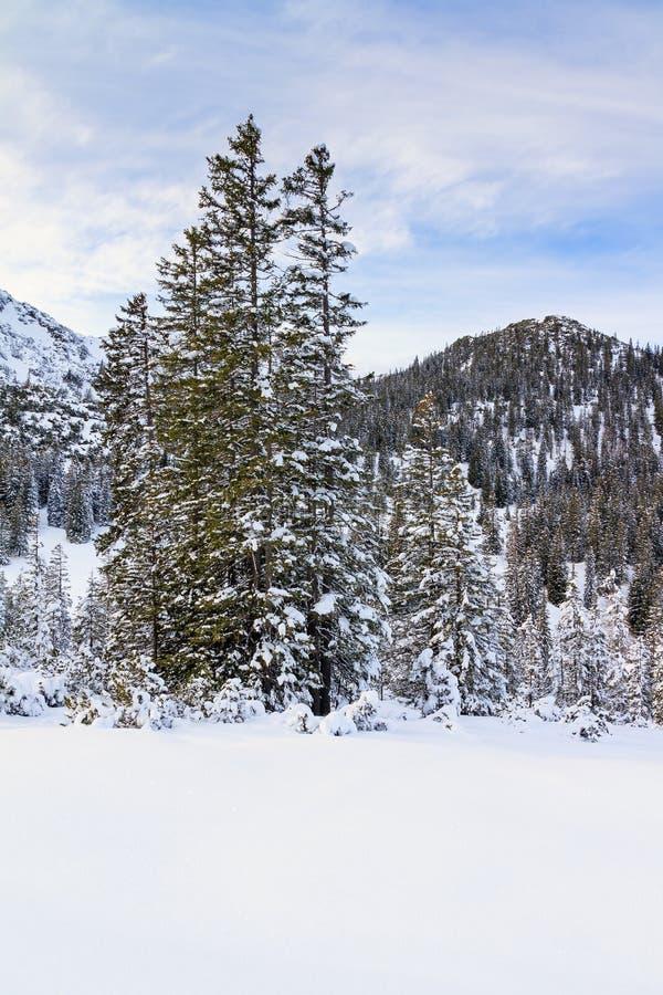 Neve fresca sugli alberi nell'inverno immagine stock libera da diritti