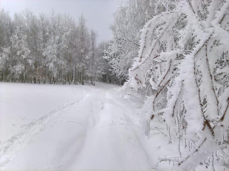 Neve Frost em árvores de vidoeiro imagem de stock