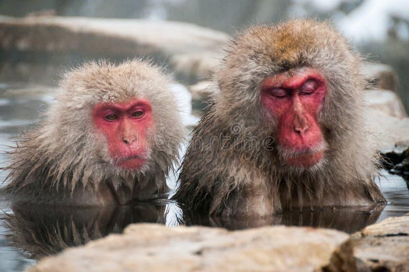 A neve monkeys a apreciação de um onsen no Nagano, Japão imagens de stock royalty free