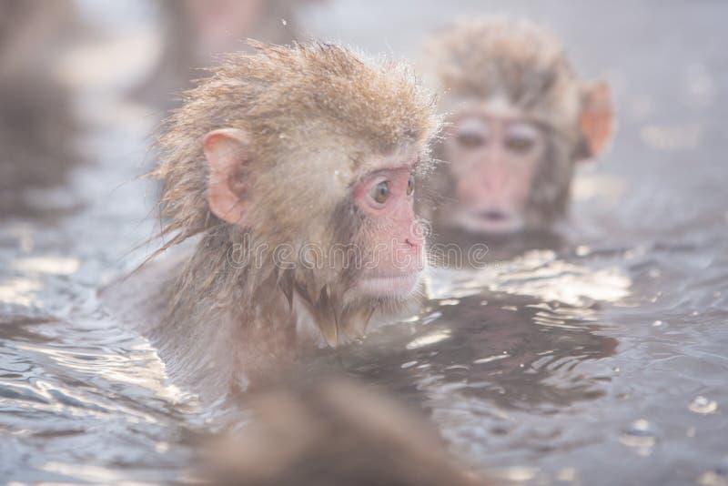 A neve monkeys em um natural onsen (mola quente), localizado em Jigokud fotografia de stock