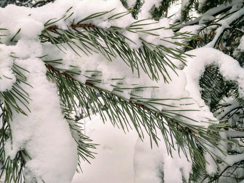Neve nas agulhas do pinho fotografia de stock royalty free