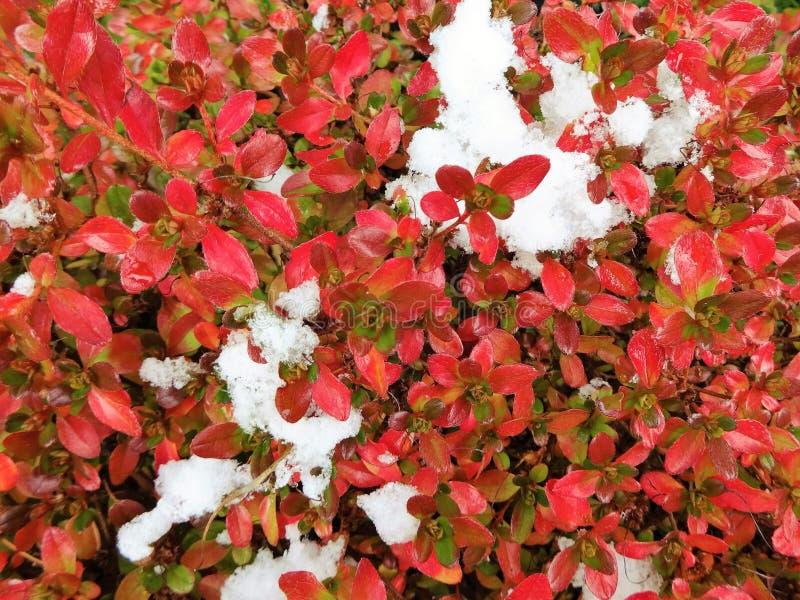 Neve nas folhas da azálea imagens de stock royalty free