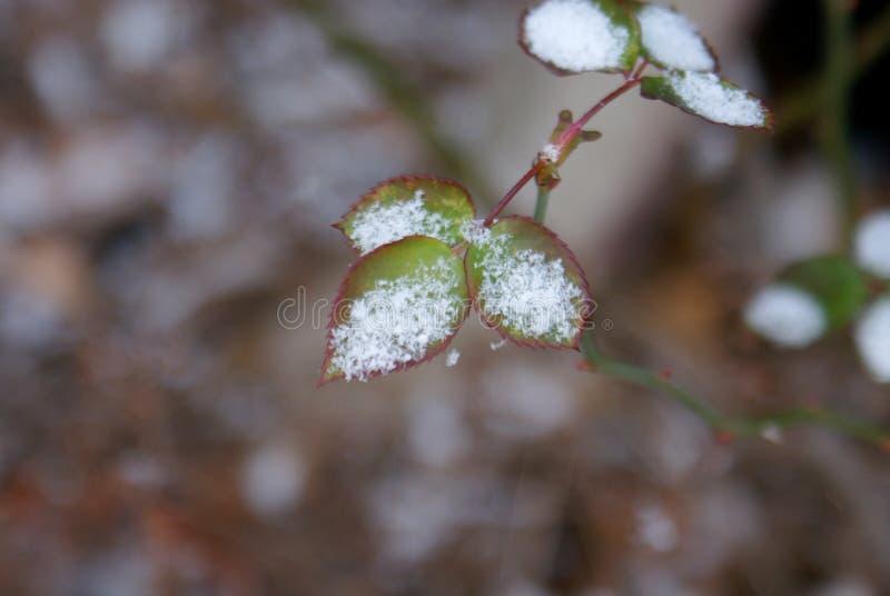 Neve nas folhas novas fotografia de stock