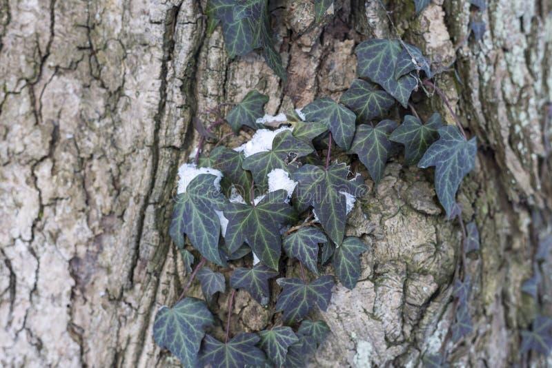 Neve no dia de inverno feliz ensolarado brilhante do parque A hera o cobre a casca de uma árvore fotografia de stock