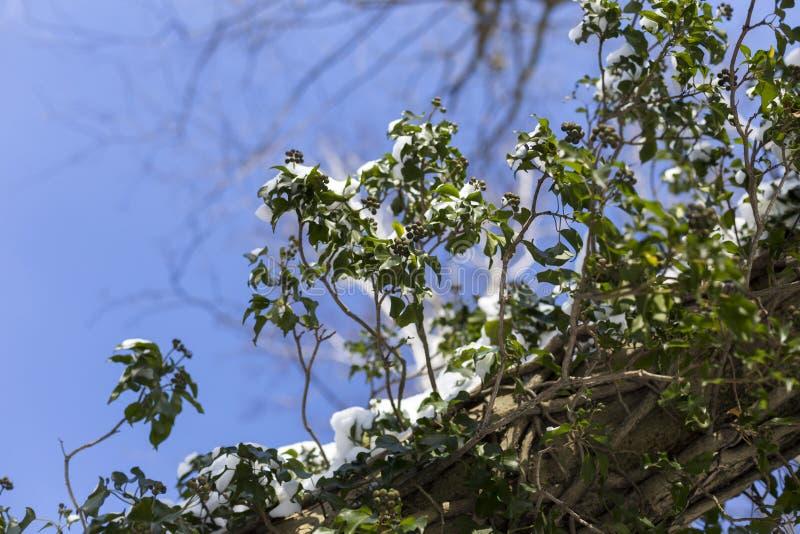 A neve no parque é um dia de inverno feliz ensolarado brilhante Planta com neve em uma casca de árvore imagem de stock royalty free