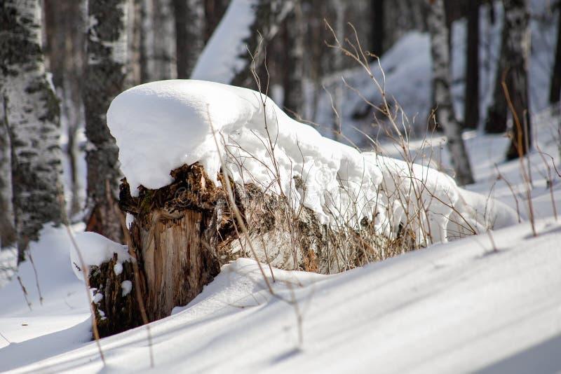 Neve no vidoeiro caído, close-up imagem de stock royalty free