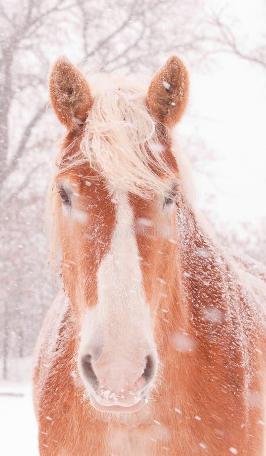 Neve que funde em um cavalo de esboço belga imagem de stock