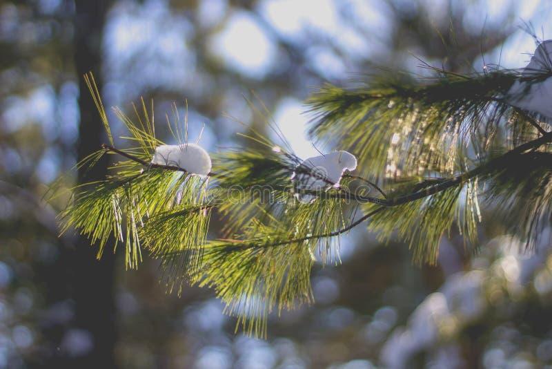 Neve restante em um ramo de pinheiro bonito durante a mola fotos de stock