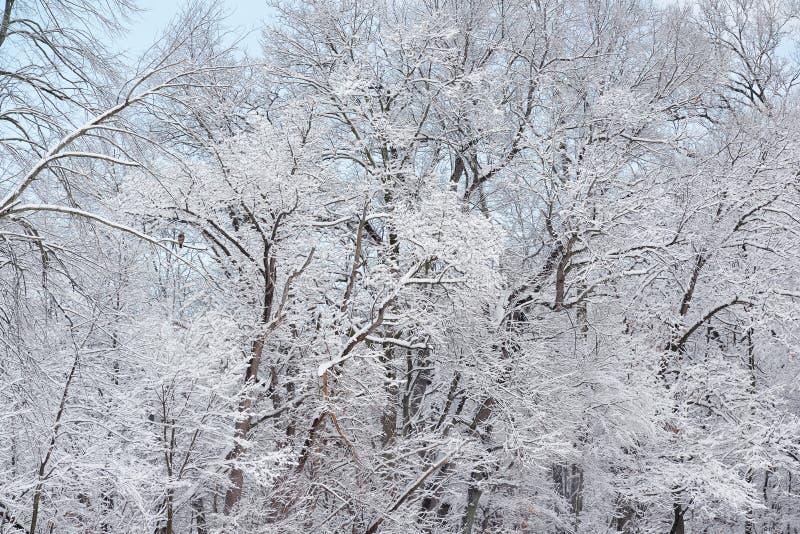 A neve reuniu árvores com falcão foto de stock