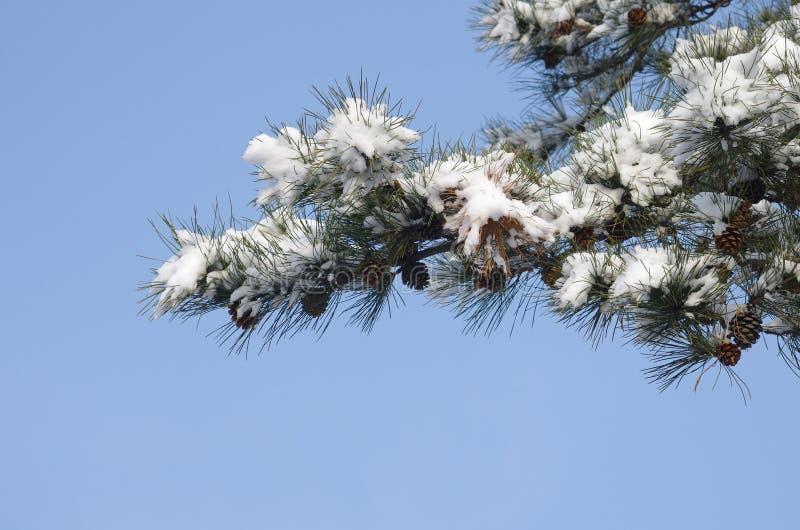 neve ricoperta di pino fotografia stock libera da diritti