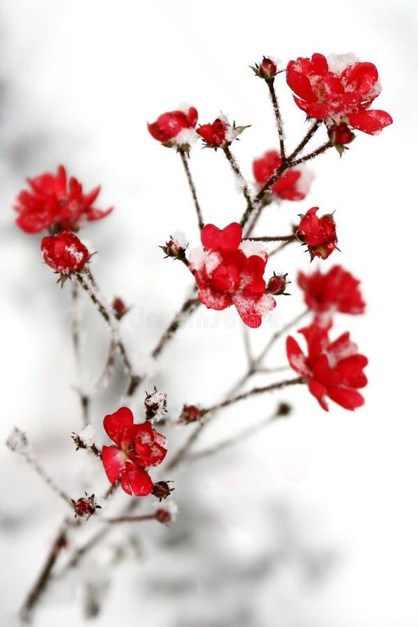 Neve sui fiori rossi fotografia stock