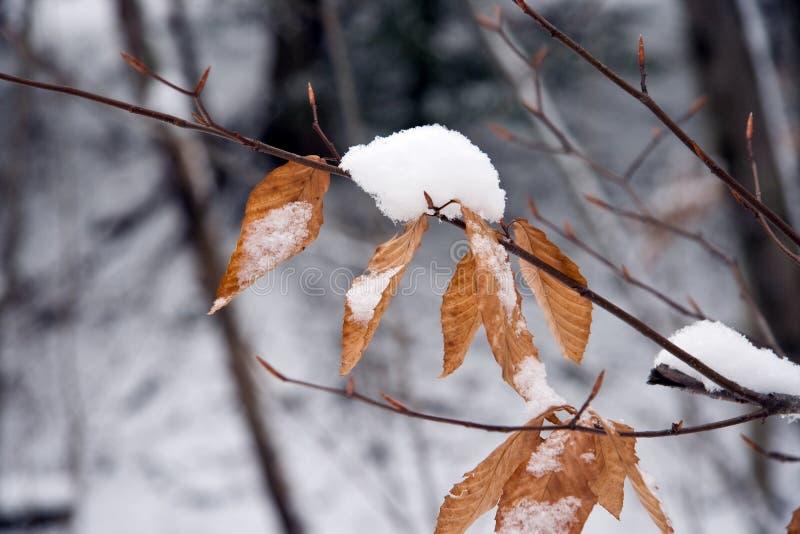 Neve sui fogli dell'albero di faggio immagini stock