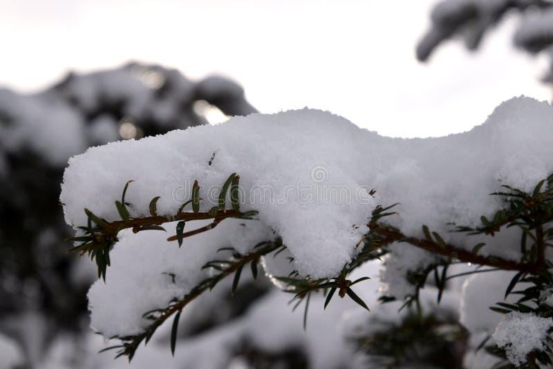 Neve sul pino, albero di Natale nevoso immagine stock