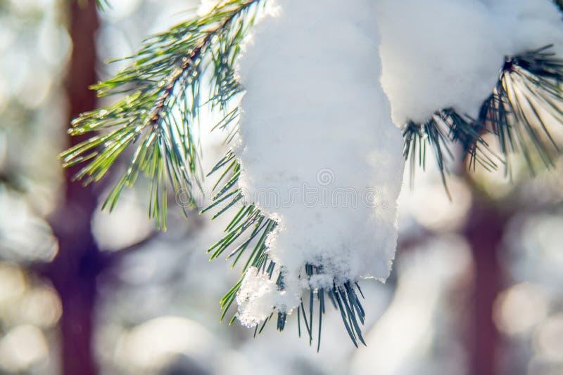Neve sul ramoscello del pino immagine stock