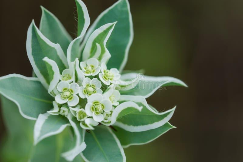 Neve sul wildflower della montagna fotografia stock libera da diritti
