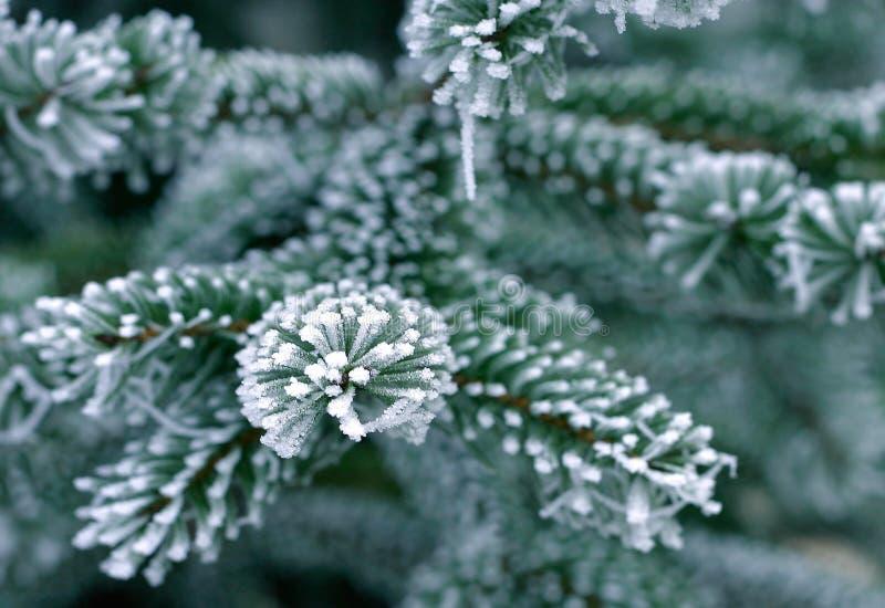 Neve sull'albero di pino immagine stock